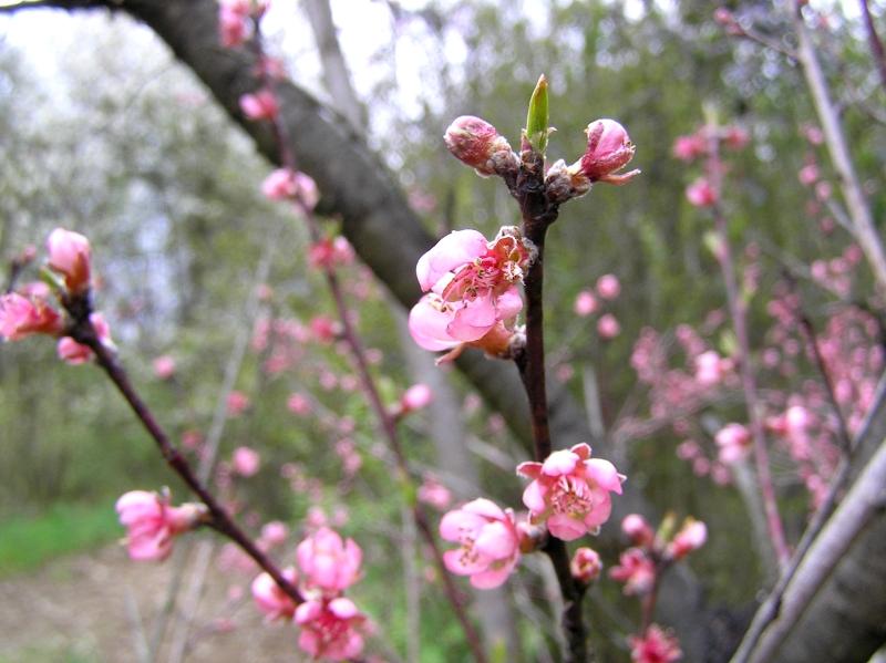 kwiat brzoskwinii