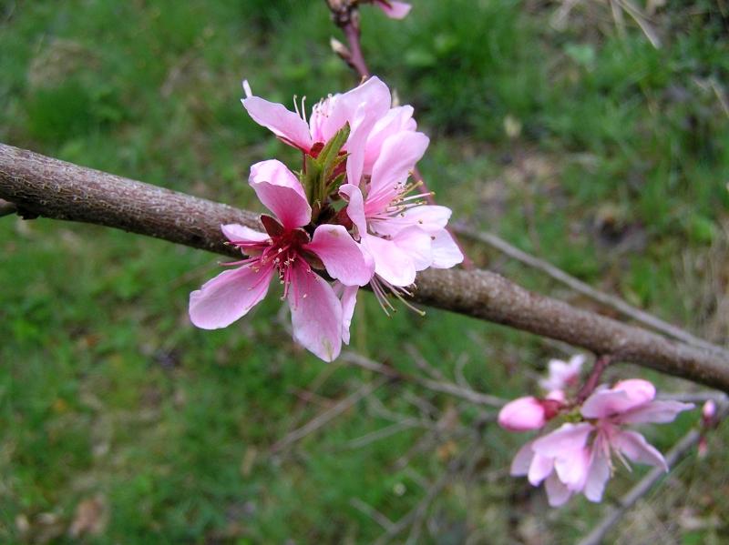 kwiat brzoskwini 2