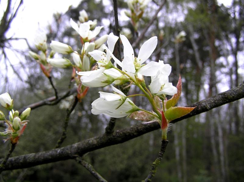 kwiat jagody kamczackiej